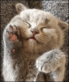 Animated KITTEN GIF • Adorable Blue Kitten sleeping on his back dreaming and talking at the same time