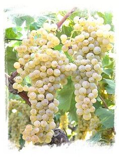 """TREBBIANO TOSCANO    Origins:  the grape variety is of Etruscan origin. Trebbiano Toscano, perhaps the most important of the many """"Trebbiani"""", already cited Pliny the Elder, as """"Trebulanum"""", perhaps owes its name to the site of the same name of ancient Etruria, near Luni, at the border between Liguria and Tuscany or the Trebbia River of the Piacentini Hills. This is among the most widely grown grape varieties at the national level even if it finds chiefly grown in Tuscany, Lazio and Umbria"""