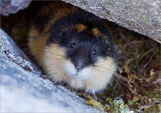 Tunturisopuli Lemmus lemmus Norwegian lemming