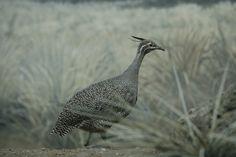 Crested_Tinamou_Bronx_Zoo.JPG (3504×2336)