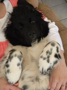 "Landseer Newfoundland pup. Katy ""Bear"" Soderburg"