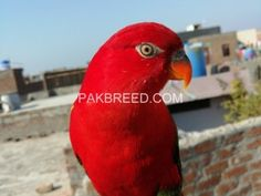 Pakbreed - Sell and Buy top breeds in Pakistan National Animal, Buy Birds, Buy Pets, Colorful Birds, Livestock, Beautiful Birds, Animals And Pets, Parrot, Pakistan
