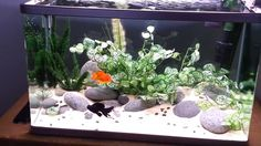 Keeping A Planted Goldfish Tank Which Live Plants Work Best With Aquarium Sand, Goldfish Aquarium, Goldfish Tank, Nano Aquarium, Planted Aquarium, Betta Fish Tank, Fish Fish, Fish Tank Themes, Fish Aquarium Decorations