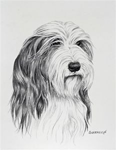 """Bearded Collie Headstudy by Canine Art Pencil ~ 10"""" x 8"""""""