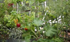 Des plants potagers sur mon balcon ! Des solutions pour goûter au plaisir du potager sur son balcon. Découvrez dans votre magasin botanic®, ou sur la Boutique en ligne, des pots, contenants, et autres solutions pour vous faire goûter au plaisir du potager naturel !Quelques conseils pour votre potager sur balcon : plus vos plantations auront de lumière, plus elles auront de chance de bien se développer. Dans les endroits ombragés, le choix sera un peu plus restreint ; menthe, persil, ...
