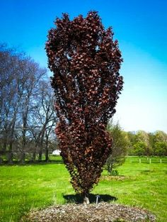 Beech 'Red Obelisk' is a columnar purple Beech tree perfect for small landscapes. tall by wide eventually getting taller at maturity. Deciduous Trees, Trees And Shrubs, Trees To Plant, Unique Trees, Small Trees, Zone 6 Plants, Thuja Green Giant, Arborvitae Tree, Emerald Green Arborvitae