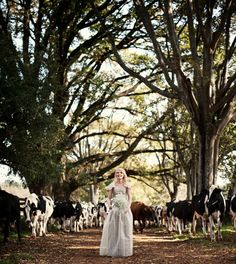 this will be me on my wedding day: cows everywhere.