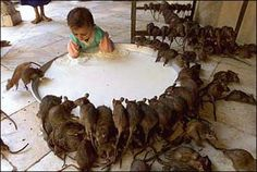 Rats drinking milk from a giant bowl with little boy.  Why couldn't he have brought home a stray cat?
