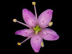 African+Plants+and+Flowers | Buchu - Agathosma betulina - (750x250 - 49kB)