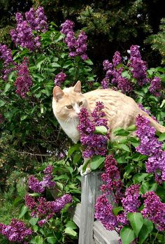 cat in the lilacs