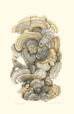 Always love fungi and its structure - Trametes versicolor, Turkey Tail Mushroom. Colored Pencil, © Katie E. Mushroom Drawing, Mushroom Art, Botanical Drawings, Botanical Prints, Turkey Tail Mushroom, Mushroom Pictures, Image Nature, A Level Art, Nature Illustration