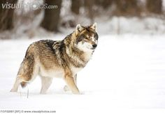 Wolf Walking, Grey Wolves, Gray Wolf, My Spirit Animal, Animal Kingdom, Animals, Handsome, Portraits, Beauty