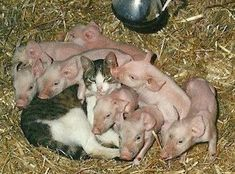 Obviously, the kitty knows to join the baby pigs under the heat lamp… Cute Baby Animals, Animals And Pets, Funny Animals, Animals With Their Babies, Farm Animals, Gato Animal, My Animal, Unusual Animals, Animals Beautiful