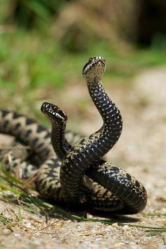 tiny-creatures: Dancing Adders by Sweetmart on Flickr.