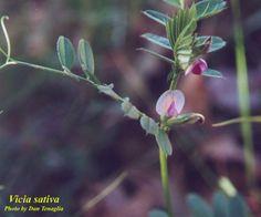 common vetch - Vicia sativa - FABACEAE