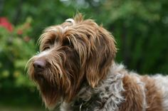 Wire-Haired Pointing Griffon / LOVE my girl!