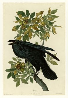 Raven ~ artist John James Audubon  #art #painting