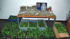 tiendas semillas marihuana - Google Search
