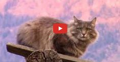 """(Videos of cats being cute, funny and odd) -- Watch Nanny => """"The Most Interesting Cat n th Rocky Mountains"""" video."""