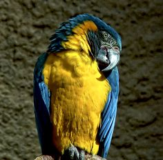 Blue Throated Macaw at Chester Zoo, photographed through glass.