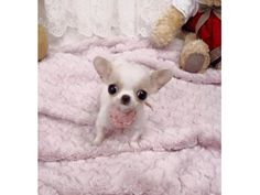 listing Excellent Apple Head Chihuahua Puppies is published on Free Classifieds USA online Ads - http://free-classifieds-usa.com/for-sale/animals/excellent-apple-head-chihuahua-puppies_i25339