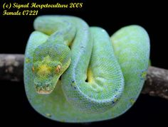 Signal Herpetoculture Surplus. Green tree python, this color is real.