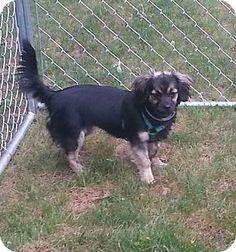 Trenton, NJ - Tibetan Spaniel Mix. Meet Ginny, a dog for adoption. http://www.adoptapet.com/pet/13111447-trenton-new-jersey-tibetan-spaniel-mix