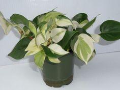 Heart-Leaf-Philodendron-Oycardium-Cream-Splash-variegated-starter-plant