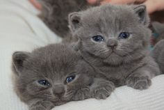We have cute and adorable blue British Shorthair kittens both 12 weeks old,well socialized and playful with kids and other pets. British Shorthair Kittens, Pets For Sale, Reptiles, Pet Dogs, Fur Babies, Your Pet, Adoption, Bunny, Birds