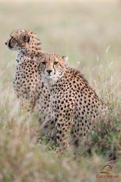 Cheetah Cub Siblings byDavid & Shiela...