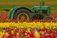 Old John Deere tractor surrounded by tulips