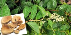 Cancer disappears after using Thunder God Vine as a cure for cancer. This effect is reached because of the ingredient contained by the plant itself.