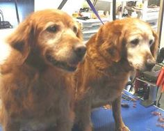 #OHIO #Senior #BondedPair ~ These are Cricket & Maggie adoptable 9 yr old littermates. They are owner surrenders. They are potty trained, spayed, current on vacciantions and would prefer a home with no cats or small dogs. They are 2 sweet ladies looking for a forever home and are at Golden Treasures #GoldenRetriever Rescue, Ohio.