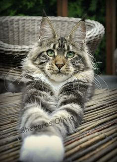 Olivia by Shedoros Maine Coon Cattery http://www.mainecoonguide.com/where-to-find-maine-coon-kittens-for-sale/