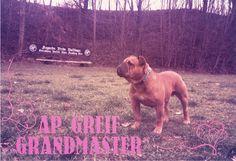 Grandmaster AP Greif. Continental Bulldog Male  www.asgards-pride.com