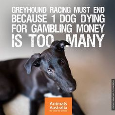 It's official: greyhound racing cruelty will continue in NSW. This week the NSW government voted to reverse last year's historic ban on greyhound racing, which was a response to evidence of systemic animal abuse. This reversal is not a surprise, but will still no doubt be devastating for many people, especially the volunteer greyhound rescue groups who are left to pick up the pieces of this ruthless gambling industry. For the majority of Australians, who care about animals and know they are…