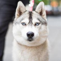 Daisy, Siberian Husky (1 y/o), 10th & 5th Ave., New York, NY