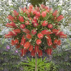 Love Bottlebrush as a standard plant - so pretty!