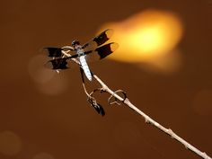 Europe's 10 Most Swift and Vibrant Dragonflies ~ Common Whitetail