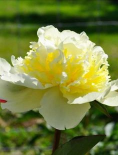 PEONY  'Ricitos de Oro' is butter yellow in color.