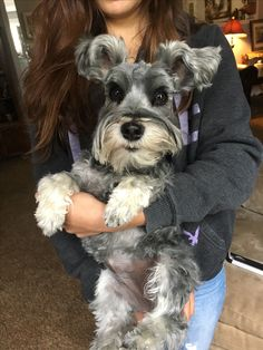 Ranked as one of the most popular dog breeds in the world, the Miniature Schnauzer is a cute little square faced furry coat. Schnauzer Breed, Standard Schnauzer, Miniature Schnauzer Puppies, Schnauzers, Silly Dogs, Big Dogs, Cute Dogs, Most Popular Dog Breeds, Love Pet