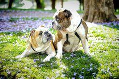 Lovable Baggy Bulldogs