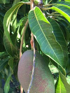 how to grow mango tree faster
