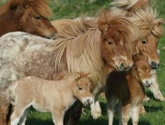 Their hair reminds me of the - A small herd of Shetland Ponies. A must for the next house. All The Pretty Horses, Beautiful Horses, Animals Beautiful, Cute Baby Animals, Animals And Pets, Miniature Ponies, Mini Cows, Tiny Horses, Cute Ponies