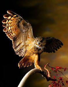 owl#Mark Laita#photographer