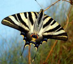 Borboleta Rabo-de-andorinha Originária da Índia, é uma borboleta que procura principalmente as orquídeas.