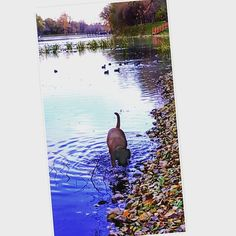 #instadog #dogsofinstagram #dogs #water #autumn #autumncolors #собака #вода #прогулка #осеньосень #останкинскийпарк