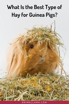 80% of a cavy's diet should consist of high-quality hay. But what type of hay is best for guinea pigs? Find out more about different types of hay and their pros and cons for your cavies. #guineapigs #guineapigcare #pets #petcare #hay Guinea Pig Food, Pet Guinea Pigs, Guinea Pig Care, Oat Hay, Guinea Pig Information, Alfalfa Hay, Pet Care Tips, Happy Animals