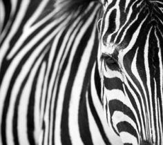 Gábor Horváth and colleagues from Hungary and Sweden have: that zebra's stripes stave off blood-sucking insects