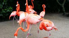 Big Flamingos at Sea World.